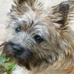 Scrambles the Cairn Terrier writes for All Things Local